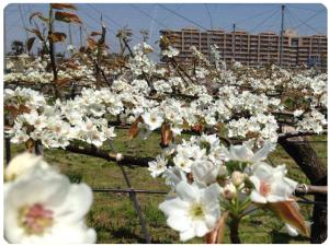 梨の開花の画像