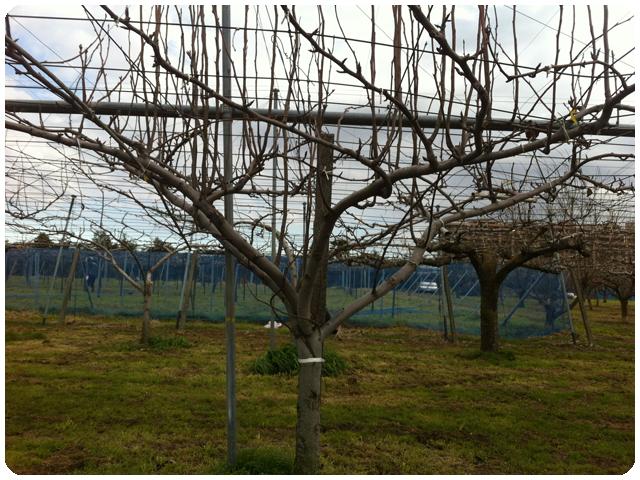 剪定前の梨の木の画像