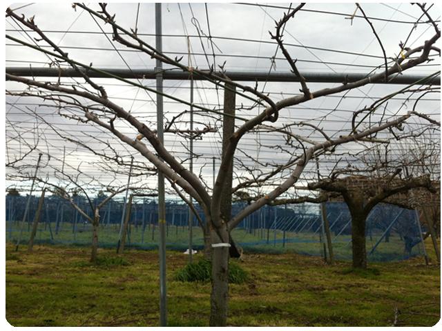 剪定後の梨の木の画像
